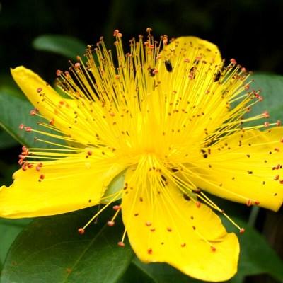 fleur millepertuis, macérât rouge éclatant